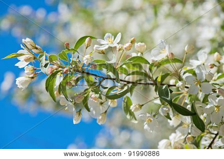 Prunus bird cherry, macro
