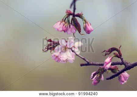 Oriental Cherry Sakura Branches With Flowers And Buds
