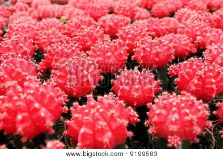 Red cacti close-up