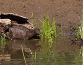 foto of mink  - Mink coming out of its log to enter lake water - JPG