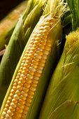 stock photo of corn stalk  - Raw Organic Yellow Seet Corn Ready to Cook - JPG