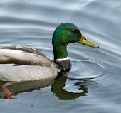 stock photo of duck pond  - A duck with green head and neck swimming in a calm pond - JPG