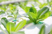 stock photo of vegetables  - Hydroponics vegetable farm,close up of Lettuce Crop Lactuca Leaf Vegetable ** Note: Shallow depth of field - JPG