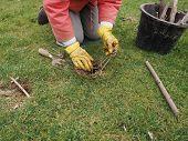 image of mole  - Setting a mole trap in a domestic garden  - JPG