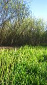pic of marshlands  - Marshland view and line of willow trees on the background - JPG