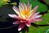stock photo of day-lilies  - Beautiful pink water lily on a sunny day - JPG