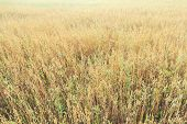 stock photo of oats  - Midsummer golden yellow oat or Avena sativa farm field floral covering texture - JPG