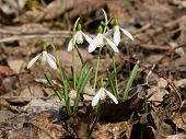 image of early spring  - snowdrops in early spring closeup selective focus shallow DOF  - JPG