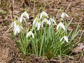 picture of early spring  - snowdrops in early spring closeup selective focus shallow DOF  - JPG