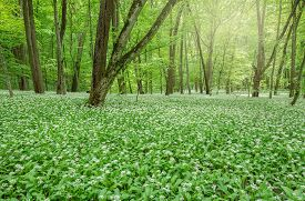 pic of deep  - White flowers of the ramsons or wild garlic in the deep forest - JPG
