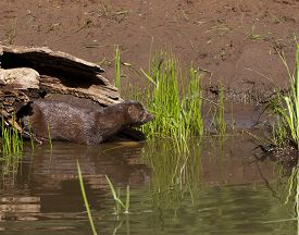 stock photo of mink  - Mink coming out of its log to enter lake water - JPG