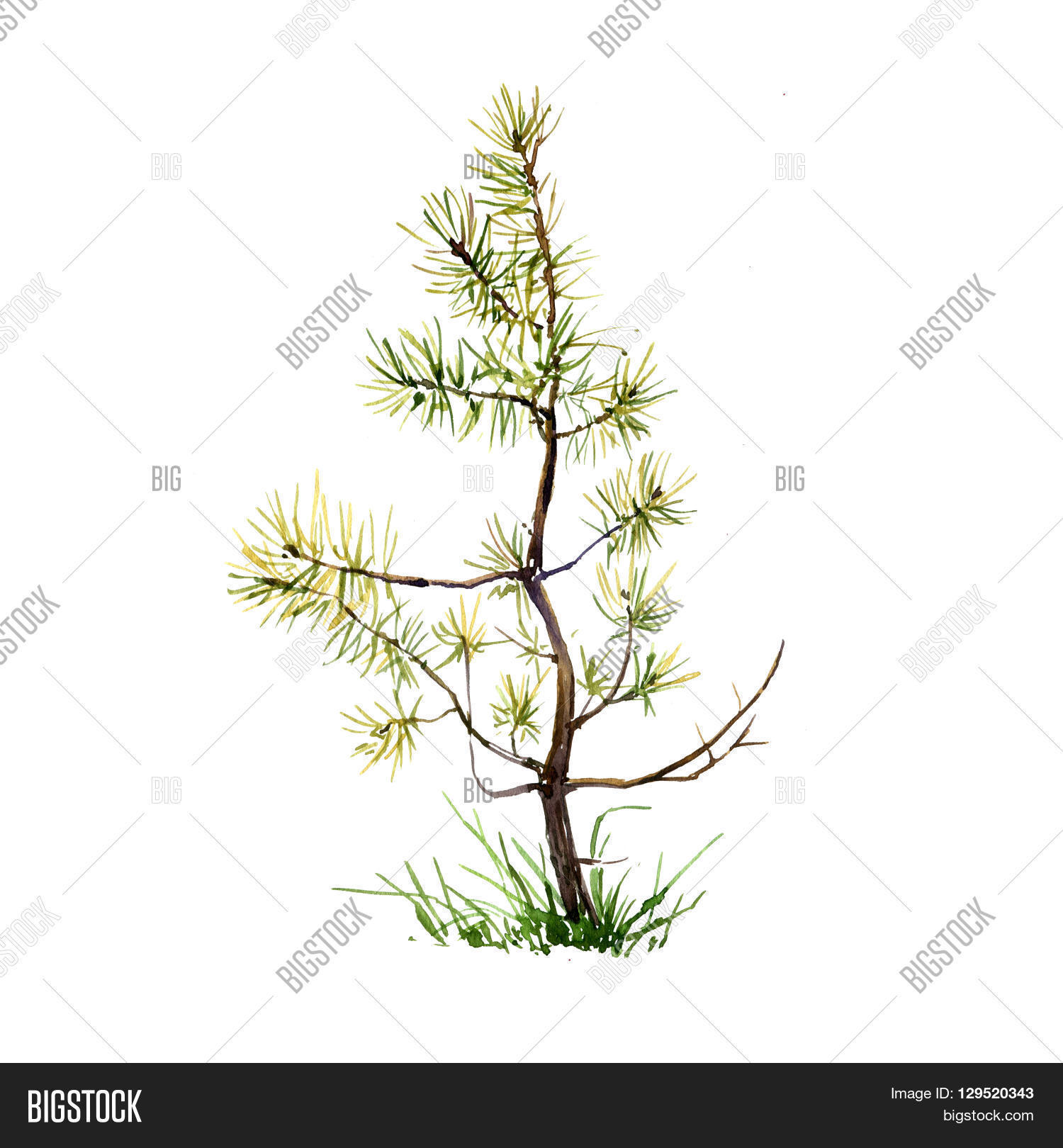 young pine tree and grass drawing by watercolor aquarelle sketch of wild nature painting