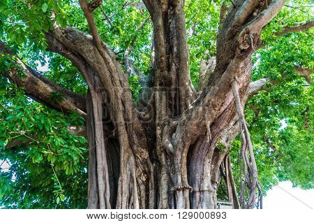 The Ficus lacor Buch big old  tree