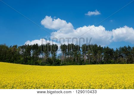 Landscape with yellow canola field agriculture plant in bloom