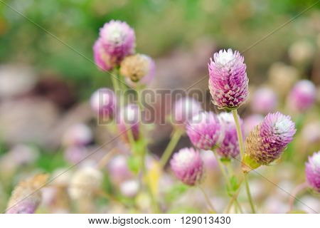 Globe Amaranth Flower (Other names are Amaranthus Tampala Tassel Flower Flaming Fountain Fountain Plant Joseph's Coat Love-lies-bleeding Molten Flower Prince's Feather and Summer Poinsettia)