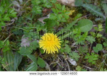 Alone dandelion on green bottom, in France