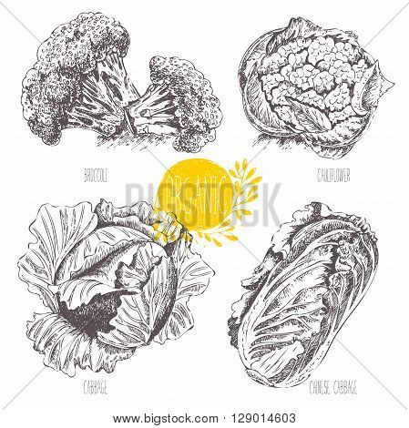 Series - vector fruit, vegetables and spices. Hand-drawn illustration in vintage style. Sketch. Healthy food. Linear graphic. Set of cabbage, cauliflower, broccoli, Chinese cabbage