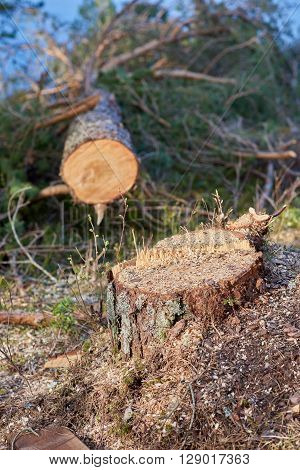 Felled tree closeup with stump in focus.