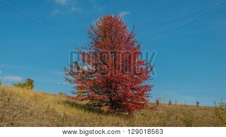 autumn landscape with wild pear tree sunny day