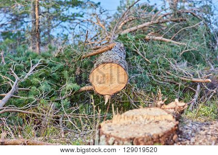 Felled tree closeup with stump out of focus.