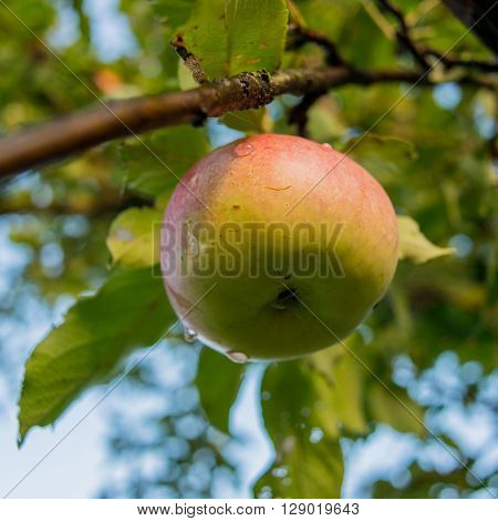 fruit ripe apple autumn morning sunny day