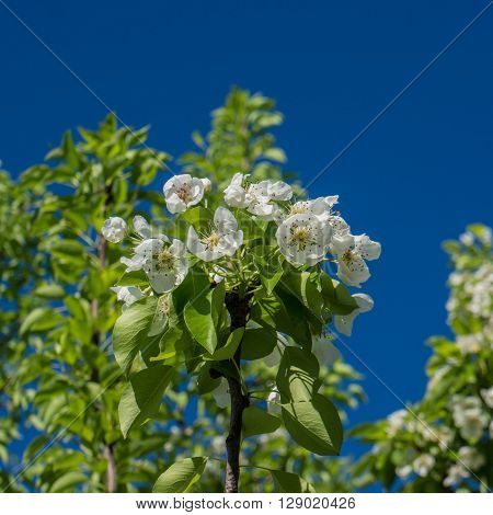 blooming fruit tree flowers pear spring season