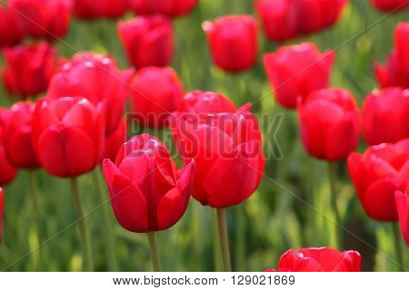 colorful bright beautiful rich scarlet tulips closeup