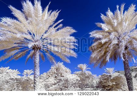 Infra red photo of date palms and a blue sky