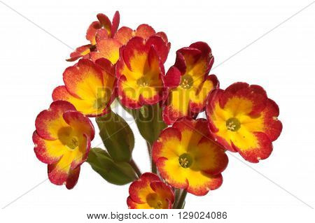 Garden plants of Primula from family Primrose isolated on white background