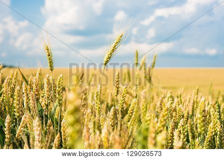 Field of wheat against the sky with clouds