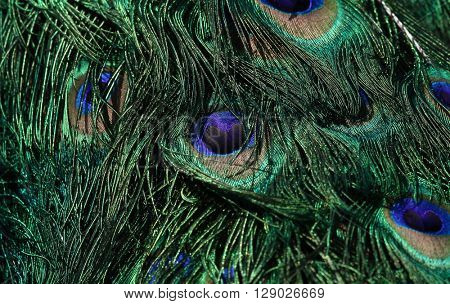 Peacock feathers macro