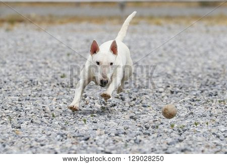 Miniature bull terrier chasing a ball in the rocks