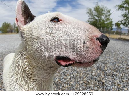 Extreme close up of a mini bull terrier head