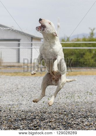 Miniature bull terrier leaping in the air to play with a stream of water