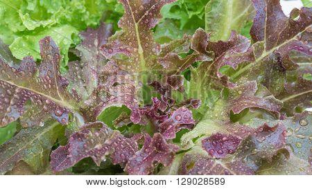 Organic Oak Lettuce