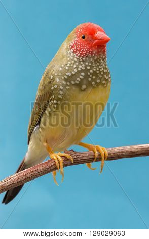 Beautiful speckled star finch bird from Australia