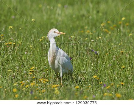 Cattle egret standing in grass in its habitat
