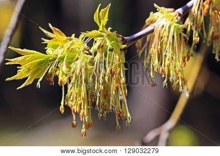 Maple or American maple ( Latin name Acer negundo). Blooming branch