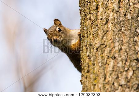 Red Squirrel on a tree in the forest in Wisconsin.