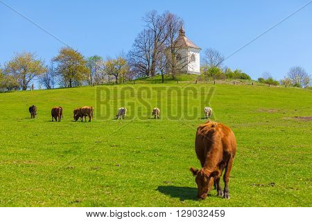 Cows grazing on pasture, clear blue sky