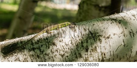 Green lizard on tree in natural environment. Animal and wildlife wild reptile.