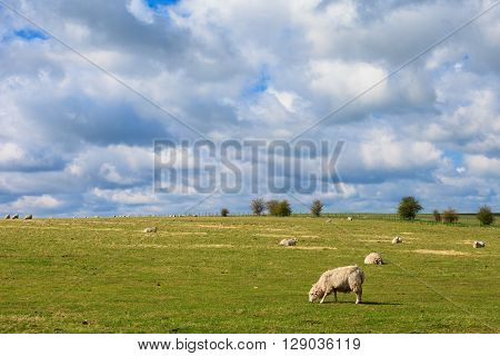 Sheeps Near Stonehenge Landscape England