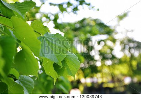 view of Green leaves of old linden tree