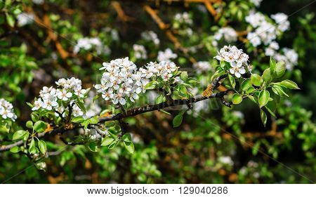Flowering Pear Tree In Early Spring With Blue Sky In The Background. Pear Tree Branches Covered With