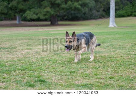 German Shepard puppy sneaking across the grass