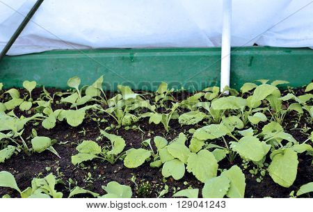 The gardenbed with radish sprouts sheltered white geotextile for warming in early spring