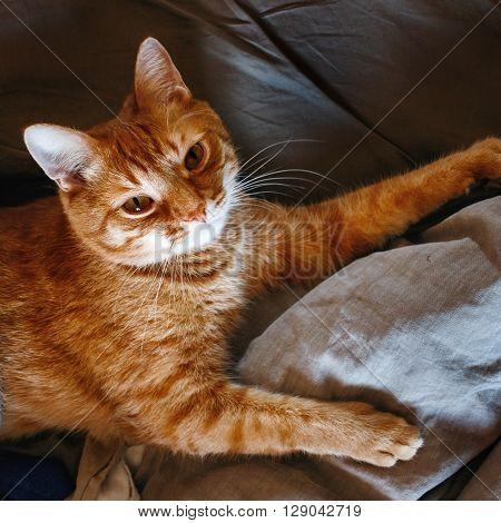 Cute Lazy Red Cat
