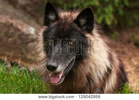 Black Phase Grey Wolf (Canis lupus) Head - captive animal