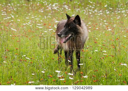 Black Phase Grey Wolf (Canis lupus) Looks Left in Field - captive animal