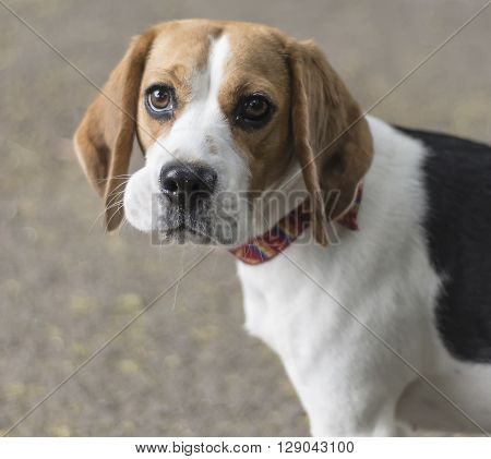 dog beagle puppy looking  at  me ,portrait